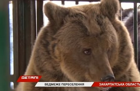 У Реабілітаційному центрі «Синевир»  оселилася ведмедиця з Дніпра (ВІДЕО)