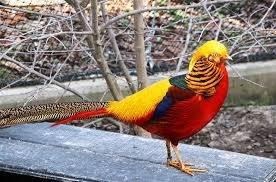 Оце так! Ужгородець вдома розводить фазанів (ВІДЕО)