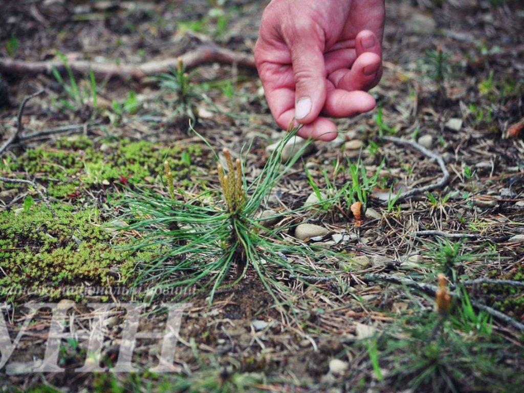 Діти висадили ліс у Лопухові