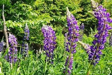 На Закарпатті росте унікальна рослина (Фото)