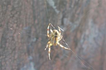 Павуки гіганти на Закарпатті атакують, навіть кусаються
