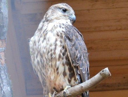 Центр для реабілітації рідкісних хижих птахів у НПП «Синевир»уже прийняв перших мешканців