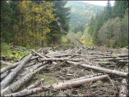 Суди візьмуться за зловмисників, що рубають карпатські ліси