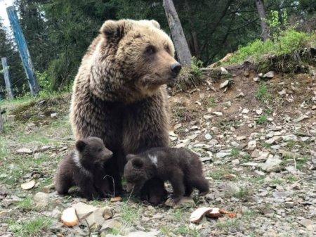 """6 ведмедів з нацпарку """"Синевир"""" впали у сплячку (ВІДЕО)"""
