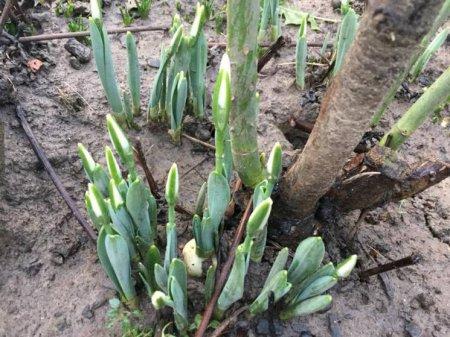 Весна у січні: на Закарпатті цвітуть підсніжники (ФОТО)