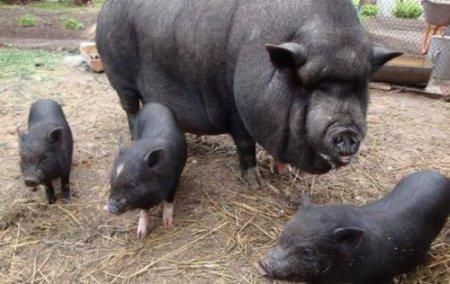 Домашні в'єтнамські свині з'їли свого господаря
