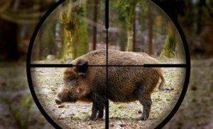 Із початку року на Закарпатті відстріляно 176 диких кабанів