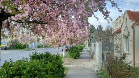 В Ужгороді починають цвісти сакури: Москаль показав неймовірні фото