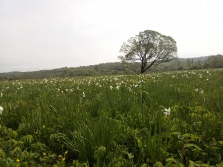 Долина нарцисів Карпатського біосферного заповідника розпочала своє цвітіння