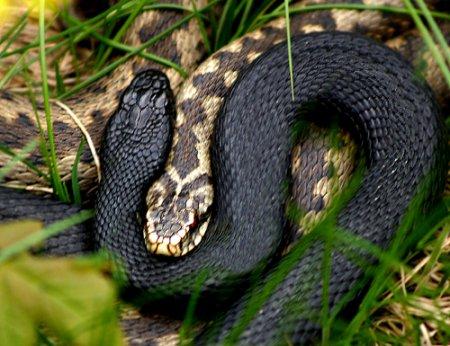 Будьте обережні: У Карпатах розвелись небезпечні чорні гадюки