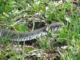 Змії на Закарпатті – чи варто боятися? (відео)