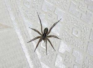 Вчені розповіли, чому не можна вбивати домашніх павуків