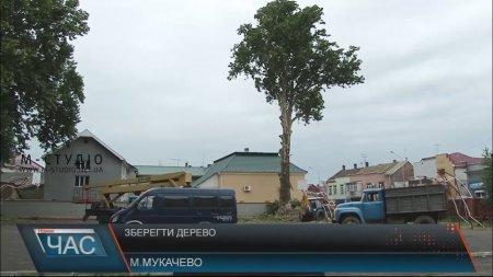 Одне з найстаріших дерев міста Мукачева вирішили зрубати (ВІДЕО)