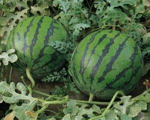 На Закарпатті фруктовий бум: серед липня дозріли солодкий виноград та соковиті кавуни