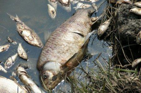 В Європі через спеку масово гине риба
