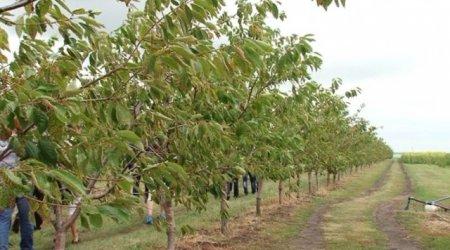 На Тячівщині з'явилася горіхова плантація