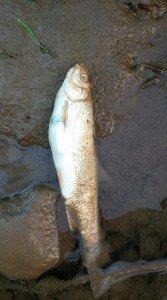 В одній із річок Закарпаття фіксують масове вимирання риби (ФОТО)