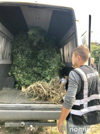 Такого ви ще не бачили: На Виноградівщині поліція виявила гігантську коноплю (Фото)