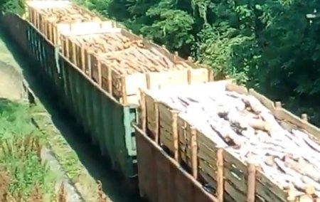 Закарпатських лісівників звинувачують у незаконній рубці лісу (відео)