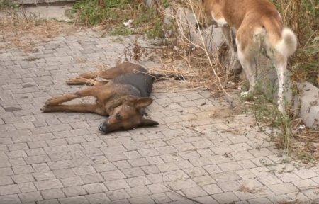 Отруєння собак сталося в Мукачеві, це не перший випадок (ВІДЕО)