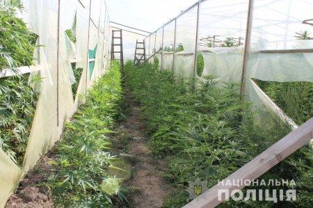 Поліція Закарпаття виявила на Мукачівщині наркоплантацію та вилучила марихуани на більше як 10 млн грн