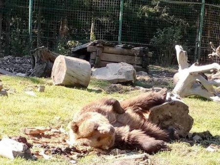 У Карпатах браконьєри застрелили ведмедицю. Ведмежа врятувалося