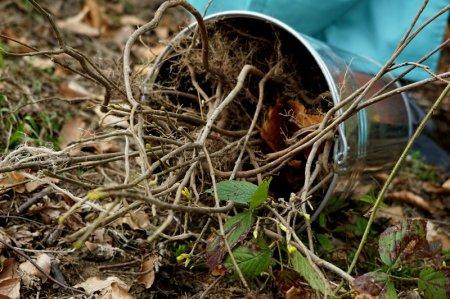 У Хустському лісгоспі запланували зібрати пів тонни насіння