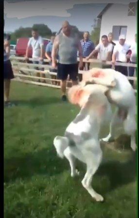 Це просто жах! Мешканці Закарпаття проводять собачі бої: обуренню немає меж (відео)