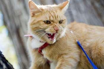 В Ужгороді виявили сказ у домашньої кішки (ВІДЕО)