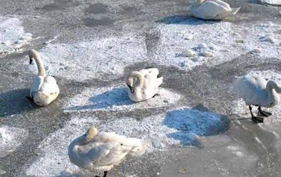 В Ужгороді лебеді примерзли до льоду (Фото)