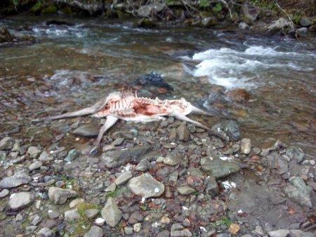 Містика вовки чи браконьєри: На Рахівщині на березі річки виявлено трупи оленів