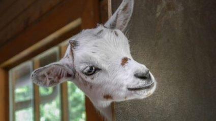 Сільська коза з'їла 20 тисяч євро які її господарі відклали на покупку земельної ділянки