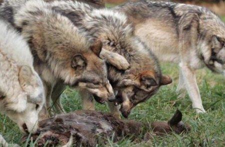 Ціле село тероризує зграя вовків - мутантів