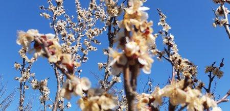 Через морози на Закарпатті вимерзли ранні абрикоси (фото)