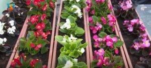 Карантин не вплинув на попит на продукцію закарпатських квітникарів (ВІДЕО)