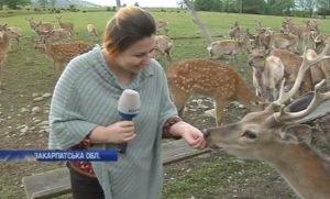 На оленячій фермі на Закарпатті тепер є кілька сотень оленів (ВІДЕО)