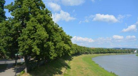 Медовий аромат: в Ужгороді зацвітає липова алея