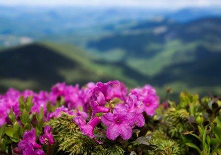 Таємниці міфічної рослини яка росте у горах Рахівщині
