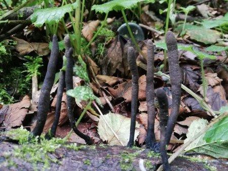На Рахівщині був  виявлений незвичний гриб