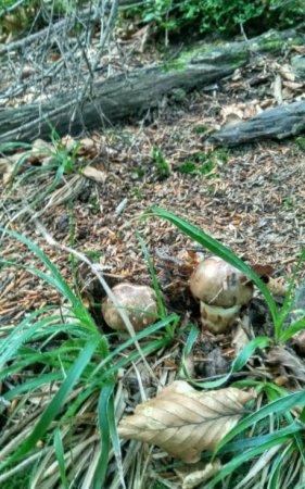В Карпатах знайшли рідкісний гриб Мацукате, вартістю 1000$ за пів кіло (ФОТО)