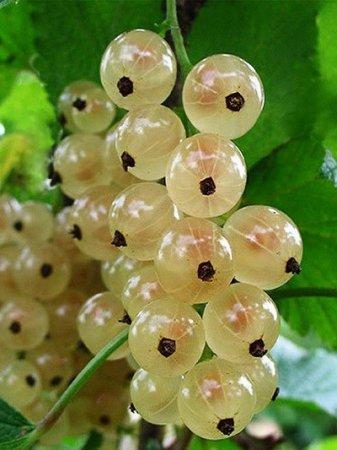 На Закарпатті збирають ягоду молодості (ФОТО)