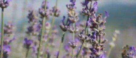 На Закарпатті зацвіла лаванда (відео)