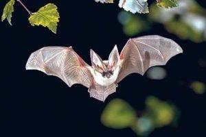 Чому не варто боятися кажанів? Закарпаття долучилося до проєкту «BAT4MAN»