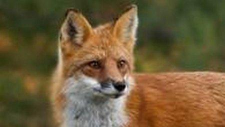 Цікава гостя: В Усть-Чорній до садиби В'ячеслава Дикуна завітала лисиця (відео)