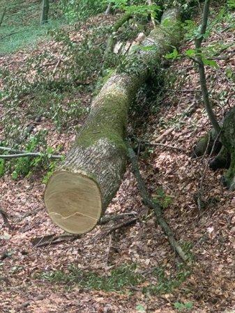 На Закарпатті «чорні лісоруби» вирубують дубові ліси на дрова (відео)
