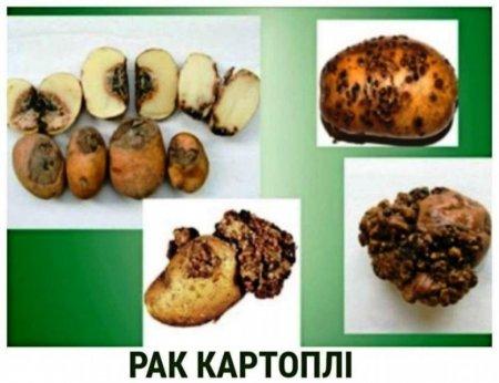 На Закарпатті поширюється рак картоплі
