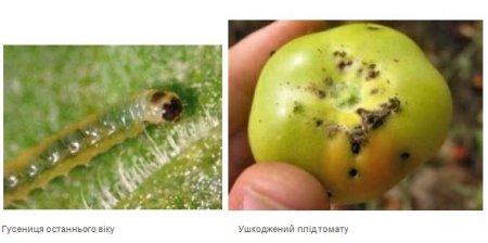 Закарпатців попереджають про загрозу томатної молі (фото)