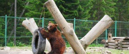 На Закарпатті ведмедів готують до зимової сплячки