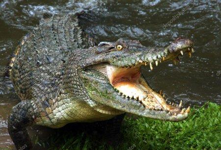 В Ужгороді оселився крокодил (Фото)